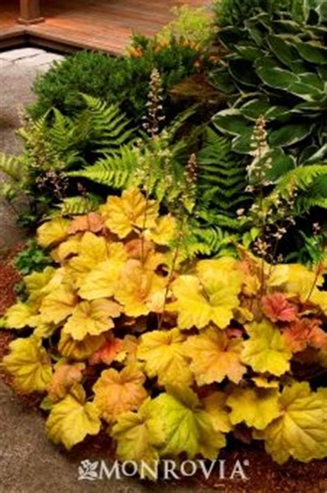 Fern Southern Comfort by 529 Best Images About Garden Astilbe Coral Bells Ferns