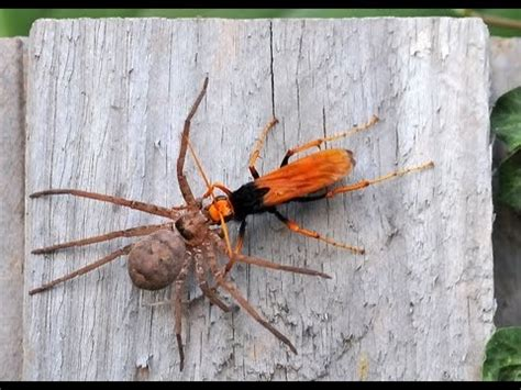 imagenes de avispas rojas avispa roja vs ara 209 a gigante dr creepy youtube