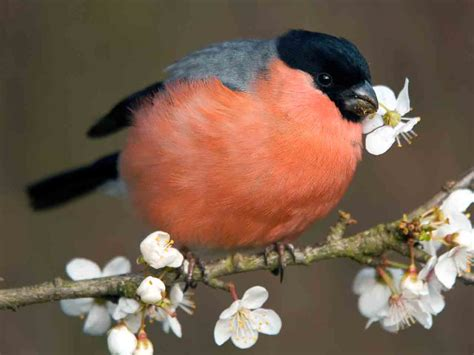 The bullfinch: identification, history & behaviour   Saga