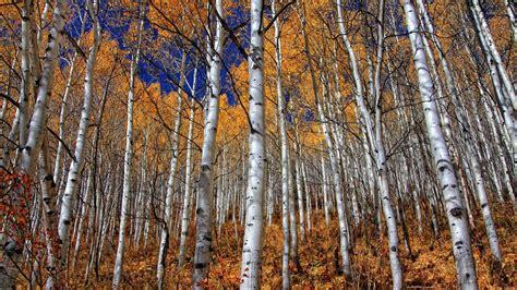 birch wallpapers hd pixelstalknet