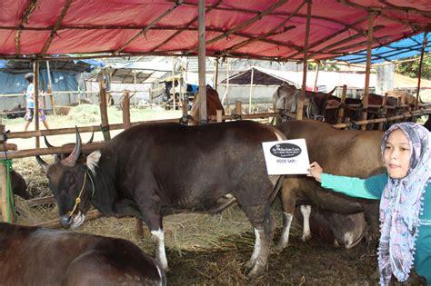 Boneka Kambing Besar Murah hewan qurban sapi istimewa a6 goqurban jual sapi