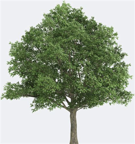 Pohon Cherry By One Home northern oak species page