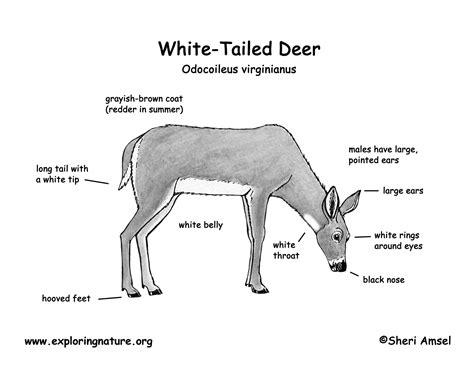 where to shoot a deer diagram whitetail deer skeleton diagram best free home