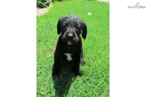 boxerdoodle puppies boxerdoodle puppy for sale near fort smith arkansas