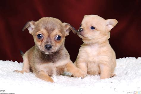 chihuahua puppies chihuahua puppies wallpaper 8918 open walls