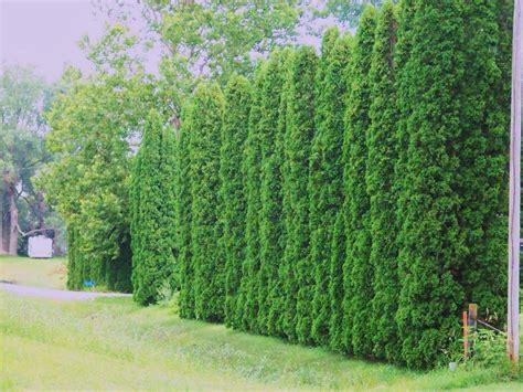 emerald green arborvitae hedge farmhouse design and