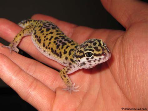 onlinegeckos com gecko breeder leopard geckos for sale