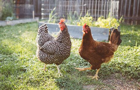 Backyard Chickens And Salmonella by Cienciasmedicasnews Keeping Backyard Poultry Features Cdc