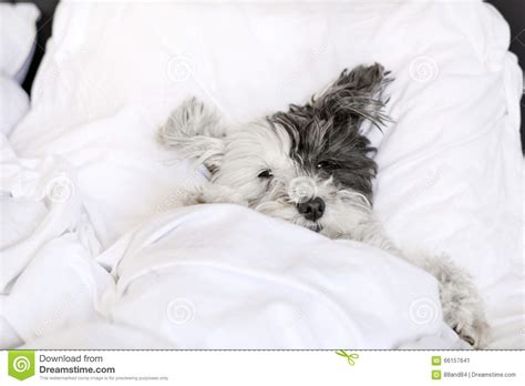 puppy sleeping in bed small white sleeping in bed stock photo image 66157641