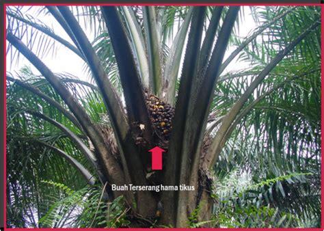 Bohlam Emergency Luby 7 Watt membangun kebun kelapa sawit hama tanaman kelapa sawit