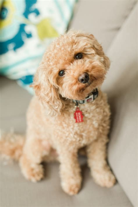 poochon haircuts poochon hair cut 25 best ideas about poodle mix on