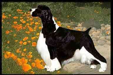 photo courtesy of gentry english springer spaniels ch gentry n rose lane s incognito td