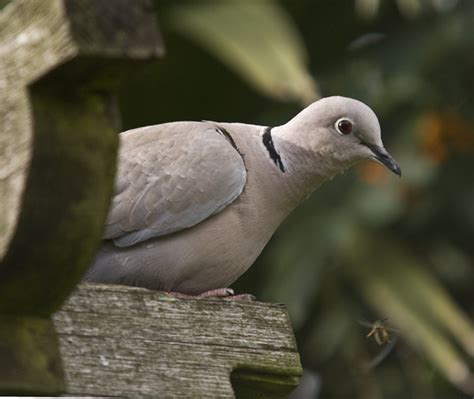 ring necked dove amateur photographer
