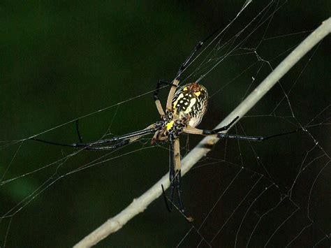 Garden Spider Behavior Black And Yellow Garden Spider Mccommas Dfw Wildlife