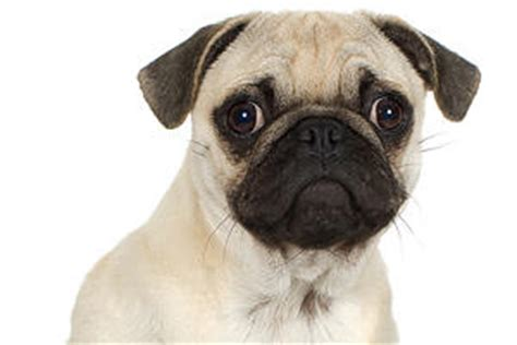 pug rescue new hshire updated rescued puppy mill pugs coming through albany owned