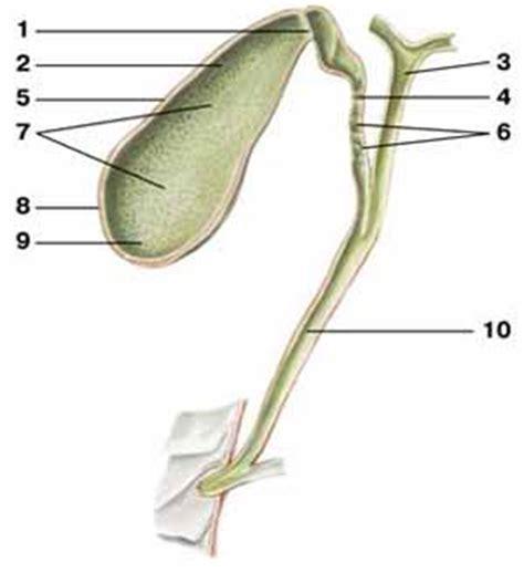 Membran V 3 R Rr gallbladder human anatomy