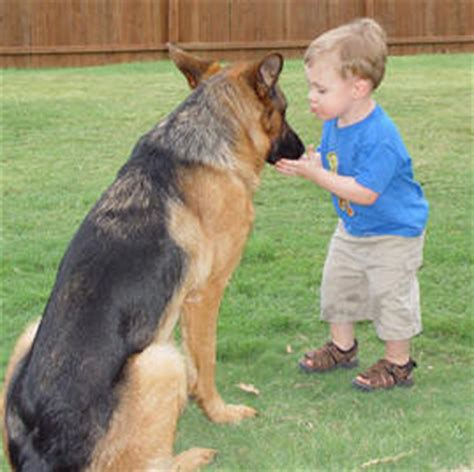 german shepherd puppies ct for sale german shepherd guard dogs for sale security guards companies