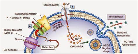 insulin diagram insulin and glucose diagram insulin free engine image