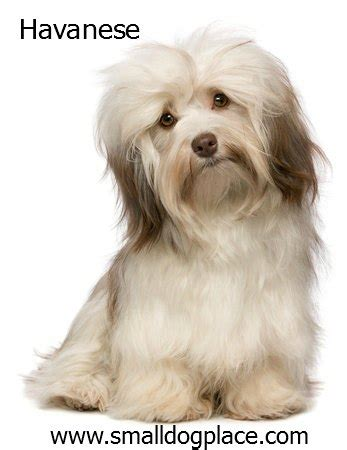 are havanese with children dogs with children