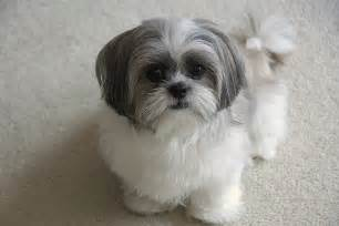 best haircut for shitzuh brilliant popular shih tzu haircuts given different