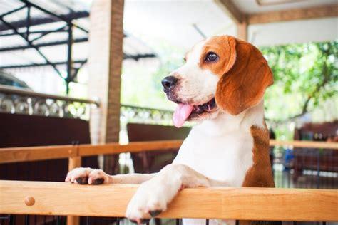 service breeds 10 best service breeds for ptsd insider monkey