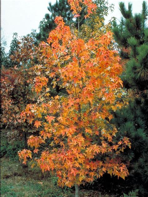 common redpoll   sweet gum tree backyardsfornatureorg