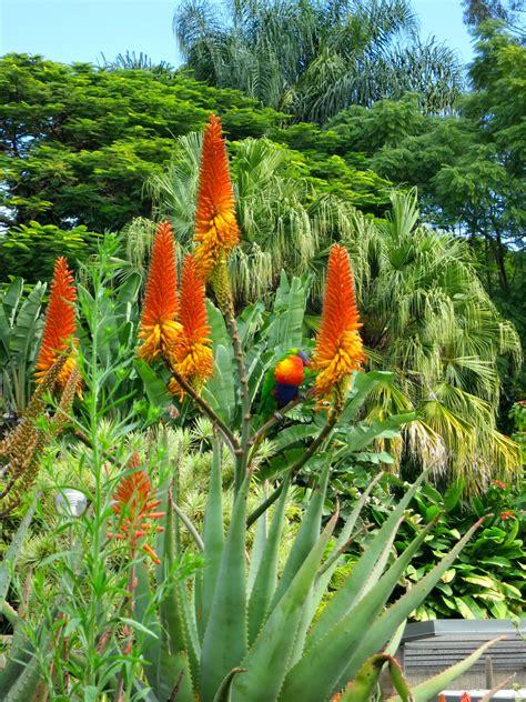 flowering gardens mt coot tha botanical gardens flowering succulents