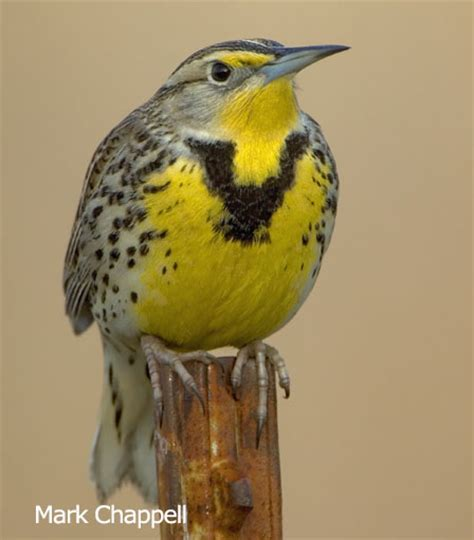 western meadowlark sturnella neglecta north american