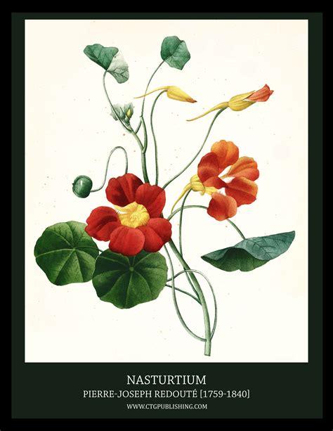 Flowers In November nasturtium illustration by pierre joseph redoute