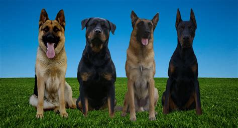 are german rottweilers family dogs protege k9 high end security dogs for family and business protege k9 executive