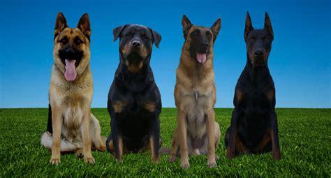 rottweiler vs doberman vs german shepherd k9 just b cause