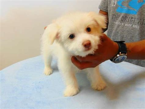 bulldog pomeranian mix for sale pomeranian chihuahua mix los angeles pico rivera dogs puppies for sale puppies