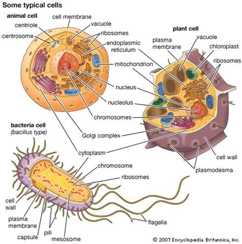 animal cell diagram with chromosomes plant cell chromosomes tutorvista