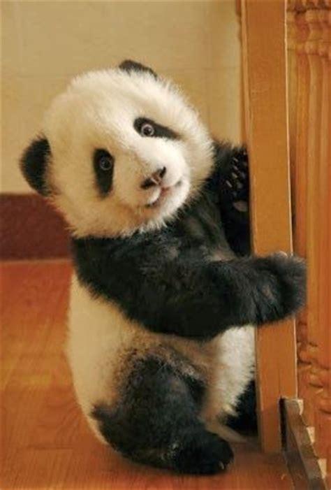 panda bear panda bear 0805080783 panda baby giant pandas panda and animal