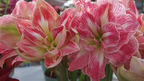 Line Maxy By Amaryllis amaryllis pretty nymph flowering