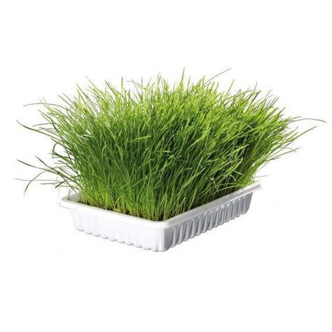 Planter Herbe à Chat by Herbe Tendre Pour Chats Herbe 224 Chat