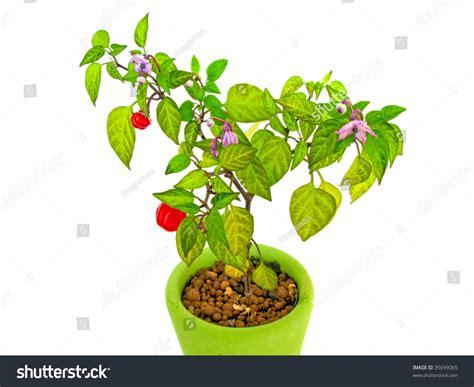 decorative pepper plants decorative pepper plant stock photo 35699065 shutterstock