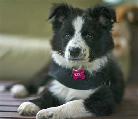 border collie mix puppies scout the border collie mix puppies daily puppy