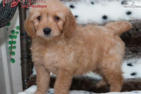 goldendoodle puppy crate meet a goldendoodle puppy for sale for 2 495