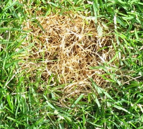 mittel gegen pilze im rasen hexenringe im rasen hexenringe pilze im rasen bek mpfen