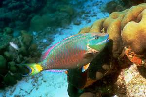 Fish S Tropical Fish Cause Trouble As Climate Change Drives Them