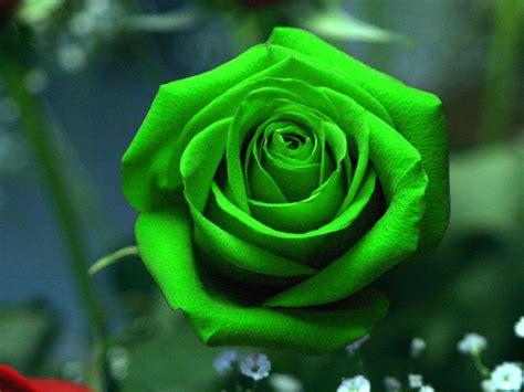 wallpaper hd rose flowers green rose hd wallpapers pictures of beautiful flowers