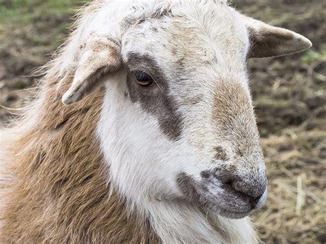 Types Of Hair Sheep by Hair Sheep No Wooling Around Hobby Farms