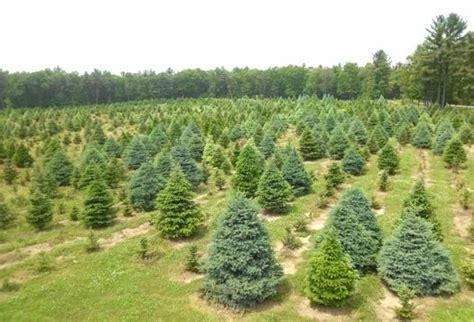 where to cut your own christmas tree 2012 all over albany