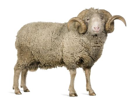 new year animal ram arles merino sheep ram 5 years stock photo image
