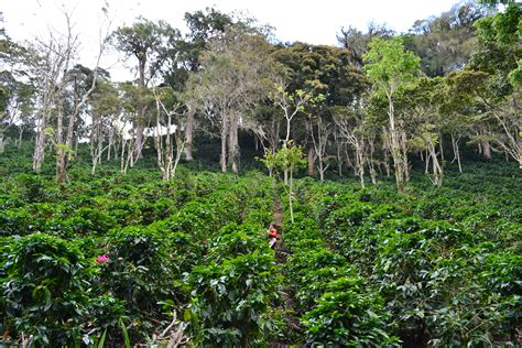 Blog   Permaculture to Cafe Culture: life of a coffee plant   Wogan Coffee   Coffee Roasters