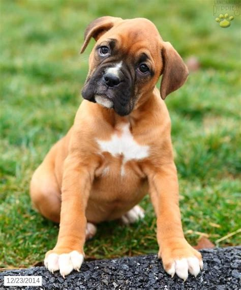 boxer puppies for sale 25 best ideas about boxer puppies for sale on boxers for sale boxer dogs