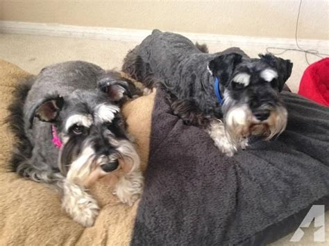 puppies for sale in apple valley ca akc mini schnauzer for sale in apple valley california classified americanlisted