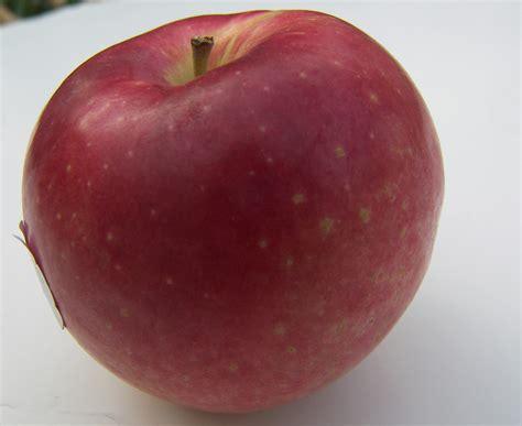 apple to apple my apple varieties the fruit gardener