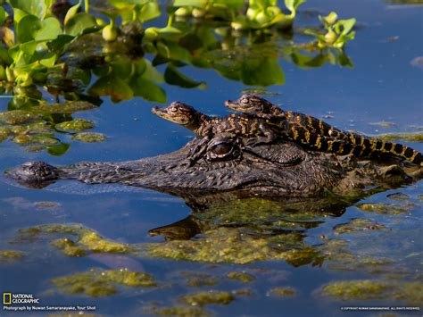 alligators and crocodiles national alligator picture animal wallpaper national geographic photo of the day